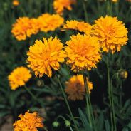 Coreopsis grandiflora - Early Sunrise - 60 seeds